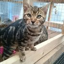 ベンガル猫 雄 3か月