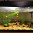 ネオンテトラ、金魚