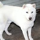 紀州犬 ショータイプの美犬 (オス) 11か月