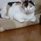 かわいいミケ猫 ねねちゃん