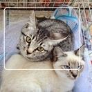 【保護猫:沖縄糸満1/2】サバトラ仔猫さん