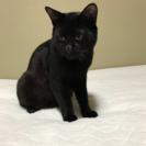 黒猫 1歳未満オス