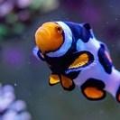 海水魚 ペルクラ ブラックピカソ ...