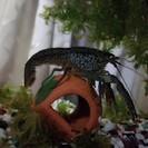 ブルーザリガニ・ミステリークレイフィッシュの稚ザリ