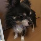 5歳のチワワ(ブルー&タン) - 犬