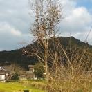 ★取りに来られる方限定!!高さ3メートル以上・オリーブの木・シン...