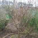 ★取りに来られる方限定!!高さ約2メートル・元気な梅(うめ)の木...