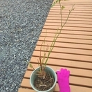 ★高さ約60cm!!根っこが元気なバラの苗(木)・ガーデニングに★