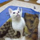 【子猫】目の大きな白猫の女の子【5~6月程】