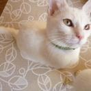 【子猫】人懐っこい白猫の女の子【4~5カ月程】