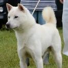 紀州犬 ショータイプの美犬 2歳(オス)