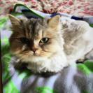 臆病なペルシャ猫です