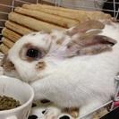 うさぎ 里親様募集 ミニウサギ