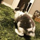 【譲渡決定しました】緊急募集!ウサギ(レッキス)の里親さん
