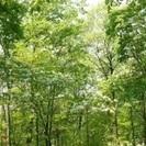 アオダモ  215 cm   雑木の庭  シンボルツリー