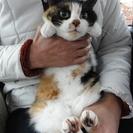 三毛猫の里親さん募集中です。