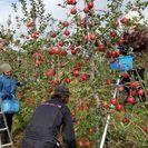 りんごの作業です🍎