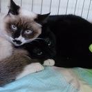 大人しい黒猫子猫 メス 1歳
