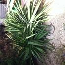 大きな観葉植物 (ユッカ)