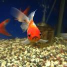 Mix金魚