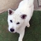 紀州犬 ショータイプの美犬 メス 70日の画像