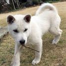 紀州犬 ショータイプの美犬 メス 70日 - さいたま市