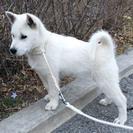 紀州犬 ショータイプの美犬 メス 70日 - 犬
