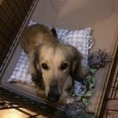 ミニチュアダックス 3歳半  オス - 犬