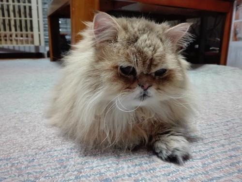 チンチラゴールデン 元気な成猫 の画像