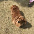 ミニチュアダックスフンド(牝)12才 - 犬
