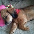 シーズーとダックスのミックス犬です