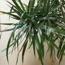 観葉植物(ドラセナコンシンネ)