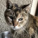 アビシニアン風のおばあちゃん猫