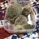 ハリネズミの赤ちゃん