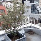 東京都心のオリーブの木