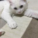 真っ白ブルーアイの♂猫ちゃん