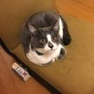 1歳半くらいの白×グレーの雄猫