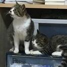漁港で保護した野良ネコちゃんです。2匹いる写真は左の猫です。