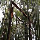 青竹差し上げます。マダケ、モウソウダケ混在。