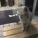迷い猫・オスの成猫・すごくひとなっつこいです
