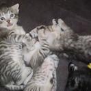 (里親決定につき受け付け終了)生後4週目の子猫3匹です。