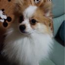 ポメラニアン♂ たると(2歳)