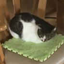 一歳のメスの猫です。の画像
