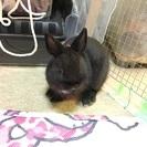 ウサギ ドワーフ系の画像