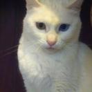 神秘的で美しい真っ白なオッドアイ猫