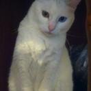 神秘的で美しい真っ白なオッドアイ猫 - 寝屋川市