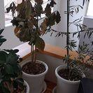 ガジュマル(左)、コーヒーの木(中)、オリーブ(右)、その他写真...