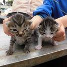 子猫の里親を募集しております。残り2匹です