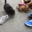 シーズーとダックスのミックス犬