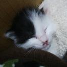 生後2週齢の子猫の里親さんを募集しています。